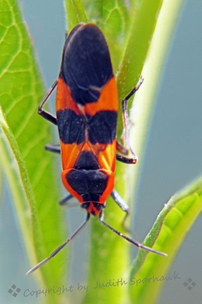 Large Milkweek Bug ~ I just got this milkweed plant, hoping to attract Monarch butterflies, and maybe even have some of their caterpillars to raise and photograph.  The morning after I brought the plant home, sure enough I had a Milkweed Bug.  Though I'd rather have Monarchs, this bug became my photo subject of the day.