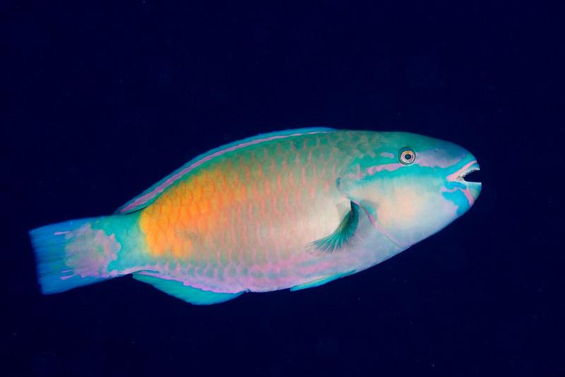 Red Lip Parrotfish.jpg