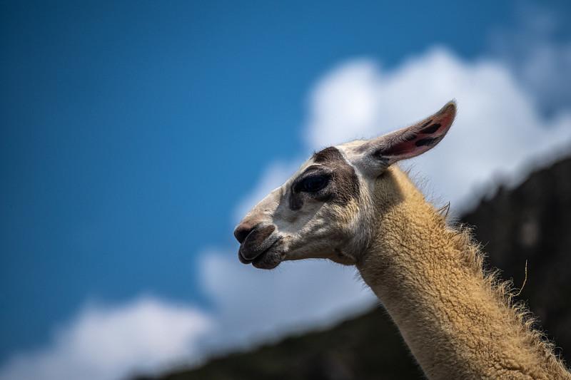 blue sky and llama.jpg