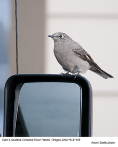 Townsend's Solitaire A81146.jpg