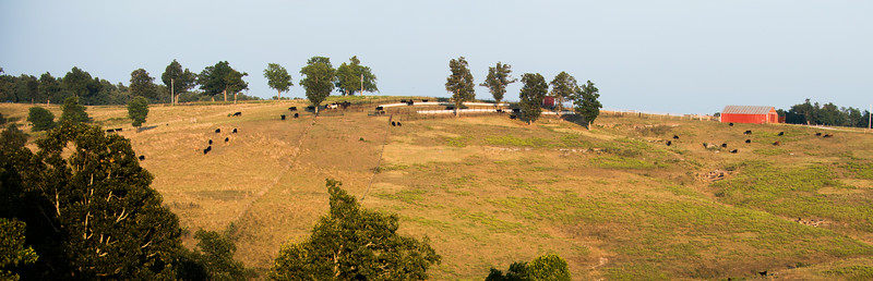 Cattle on the Hill