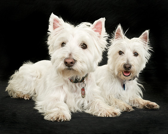 Gray Studio Dogs