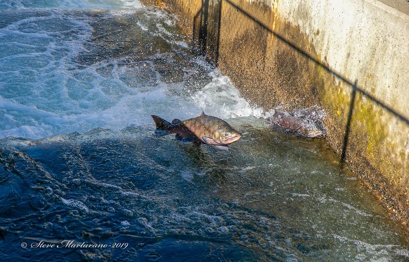 Fall-run Chinook salmon
