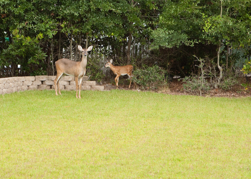 Deer at the beach - well, I guess they have to vacation some where