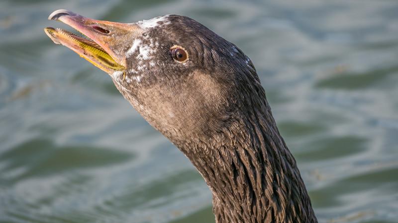 00 0099g Greater White-fronted Goose (Anser albifrons) 0012 16x9.jpg