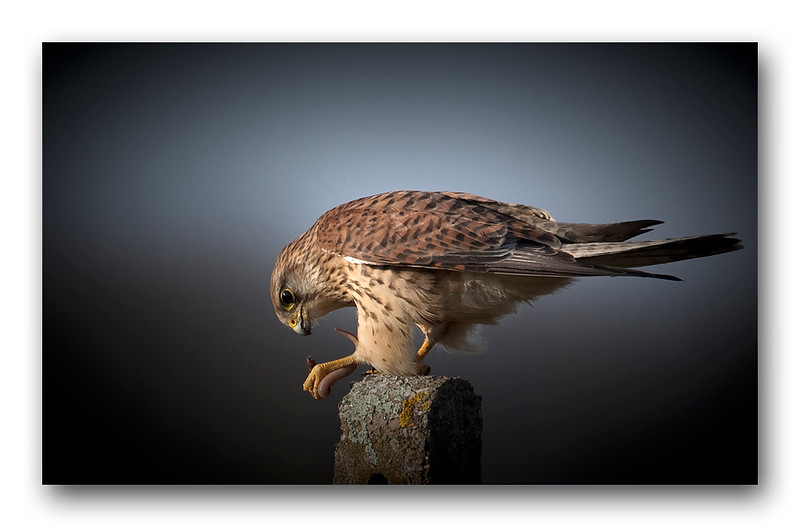 Kestrel with worm-1.jpg