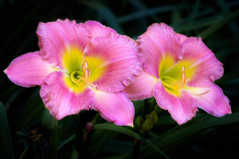 20140724 Pink Daylilies-0740 v3.jpg