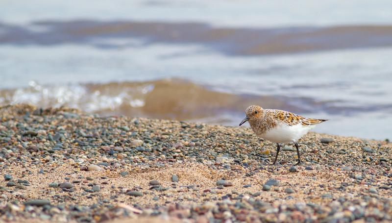 Sanderling near breeding plumage Park Point Duluth MNIMG_0055.jpg