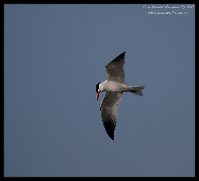 Caspian Tern, Robb Field, San Diego River, San Diego County, California, April 2011