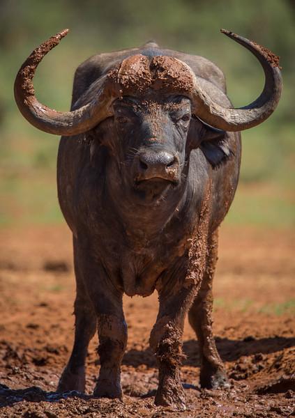 Mud-caked Cape Buffalo bull at waterhole, Mokala National Park