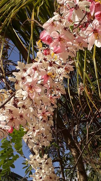 Pink Shower - Java Cassia