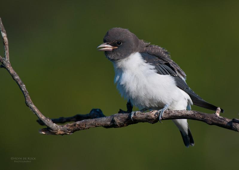 White-breasted Woodswallow, imm, Currumbin, QLD, Jan 2011.jpg