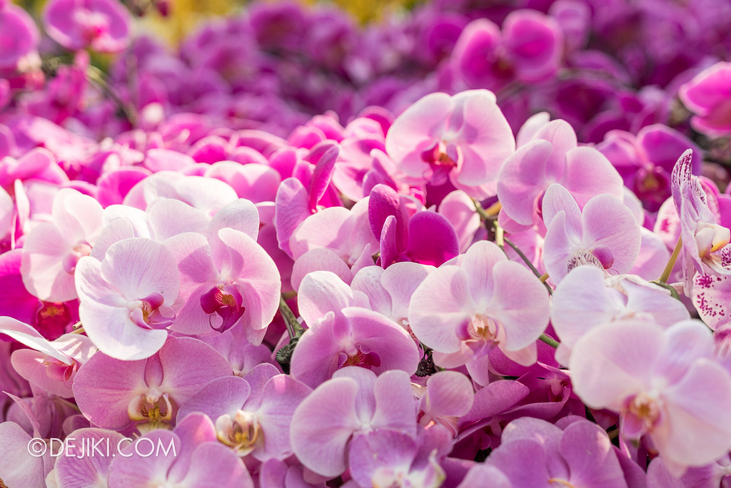 Gardens by the Bay Flower Dome - Orchid Extravaganza Floral Display 2017 / Pinks and Magentas