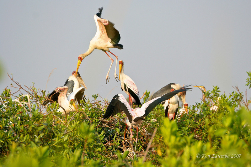 Yellow-billed Stork, Moremi Game Reserve, Okavango Delta, Botswana