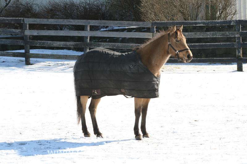 Buckskin Horse Wearing a Blanket in the Snow