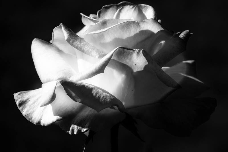 April 26 - White rose.jpg