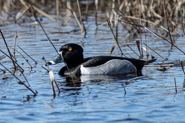 4-21-20 Ring-necked Ducks