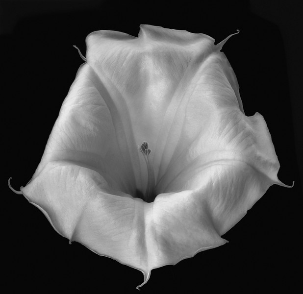 Datura Cycle:  Monochrome