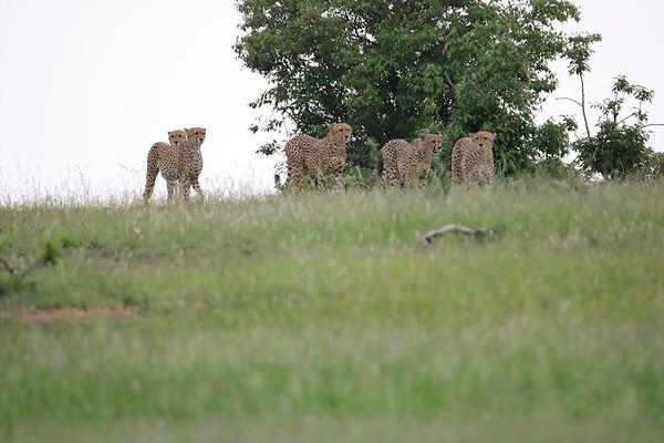 Cheetah Fast 5 on the Move 2018 Mara Kenya