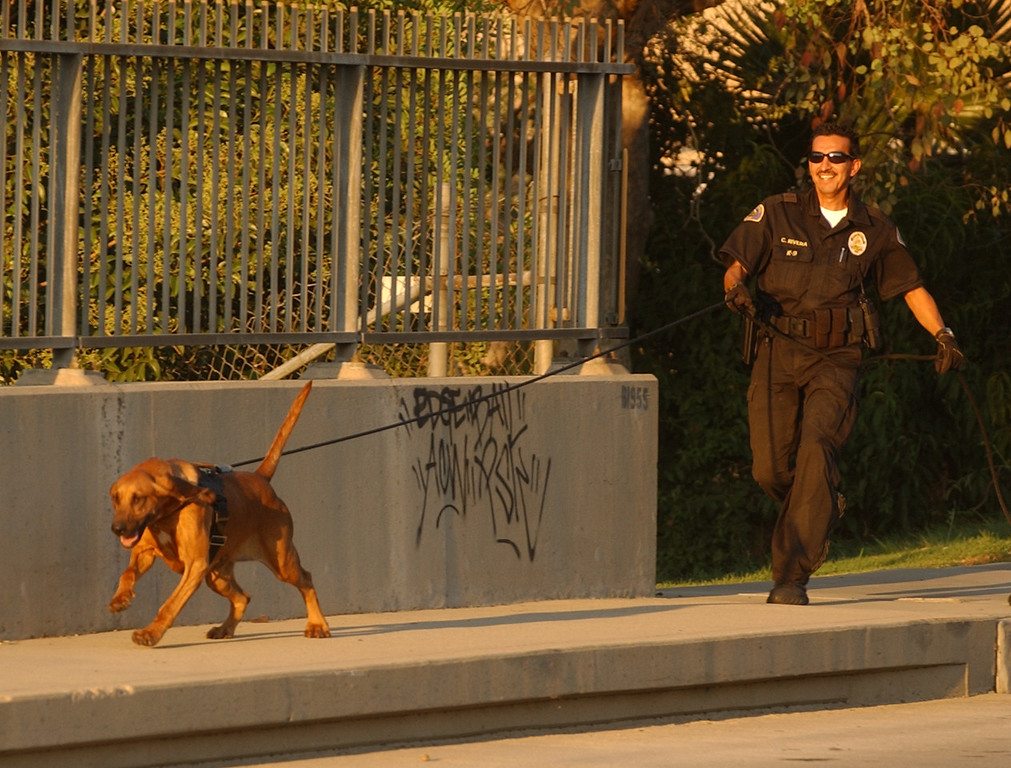 . In this 2006 file photo, Pomona Police Department bloodhound, Willow, and Pomona Police K9 handler, officer Cesar Rivera, track a decoy scent during a training session in Pomona. Pomona Police Department�s senior bloodhound, Willow, died early Thursday morning while being treated for a sudden condition of gastric torsion, or bloat, according to police officials. (Staff File Photo)