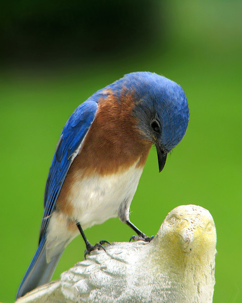 bluebird_9313.jpg