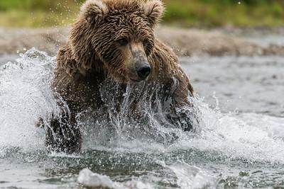 Grizzly Bears_Alaska 2016