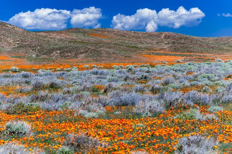 Poppy Reserve-3.jpg