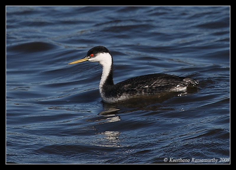 Western Grebe, Lake Hodges, San Diego County, California, November 2008