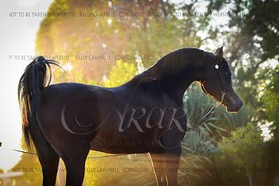Eqyptian Stallion