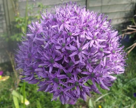 Allium 'Pinball Wizard'.jpg