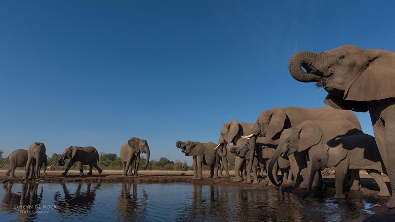 African Elephant, Mashatu GR, Botswana, May 2017-39.jpg