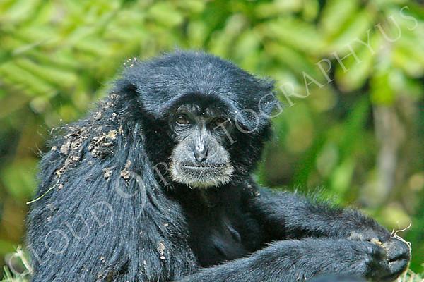 Siamang Wildlife Photography