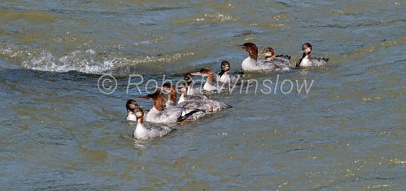 Common Merganser, Family, Mergus merganser, La Plata County, Colorado, USA, North America