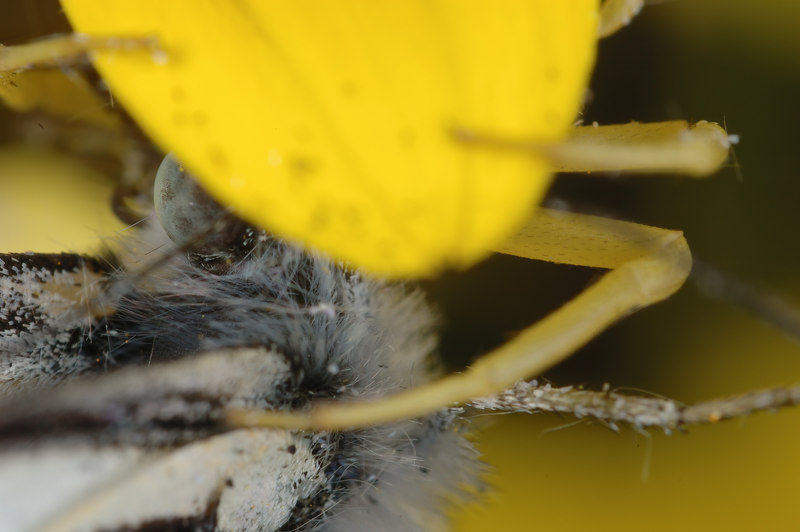 Crab Spider gets a butterfly