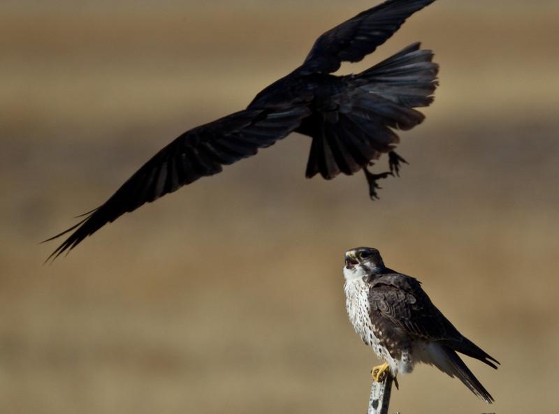 Prairie Falcon  Crowley Lake  2013 10 20-1.CR2