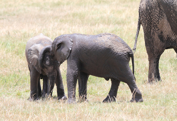 Elephant Giraffe Hippo Mara Reserve Kenya 2012
