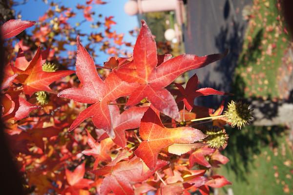 Fall colors Napa November 2012
