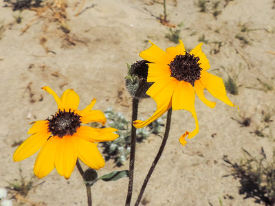 Gray Desert Sunflower (Helianthus petiolaris)
