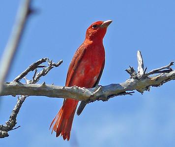 Tanagers, Cardinals, Grosbeaks, Buntings, Dickcissels