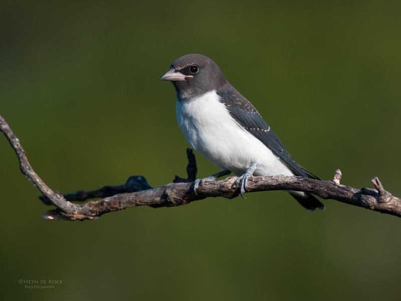 White-breasted Woodswallow, imm, Currumbin, QLD, Jan 2011-1.jpg