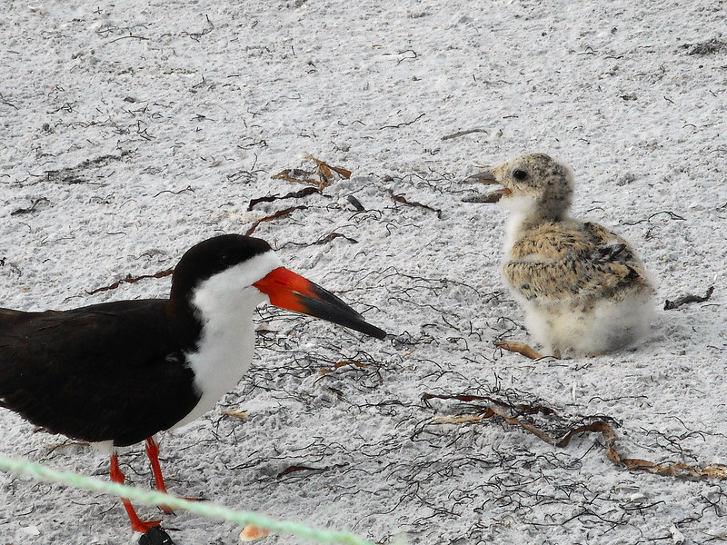 6_27_19 Black Skimmer and chick.jpg