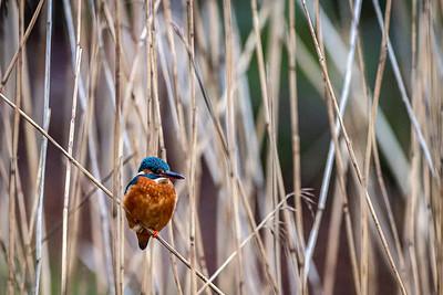 Isfugl (Common Kingfisher)