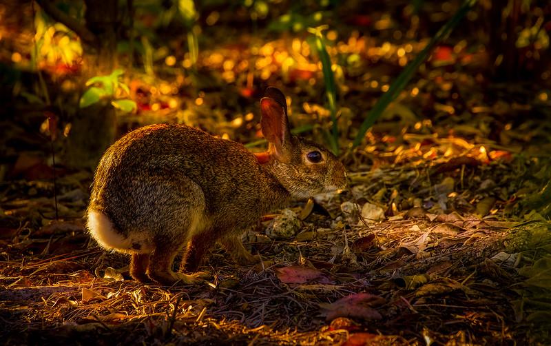 Florida Marsh Rabbit - 18.jpg