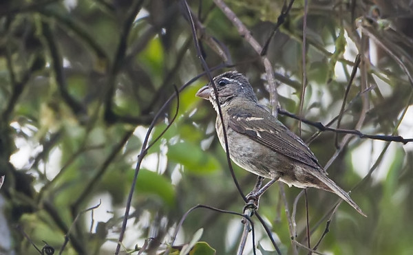 Buffyfronted Seedeater