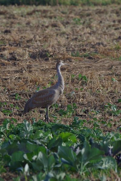 ONE Sandhill Crane
