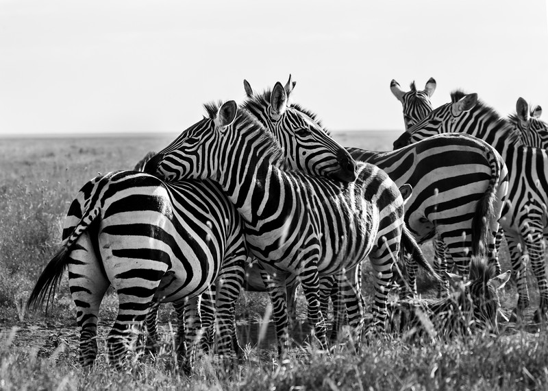 zebras-106_0219_4619-2.jpg