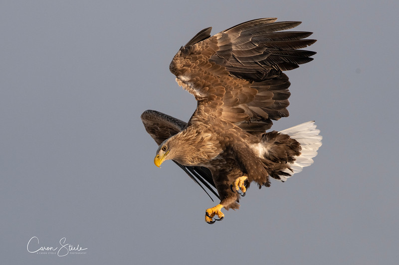Diving White tailed Eagle in Hokkaido last month