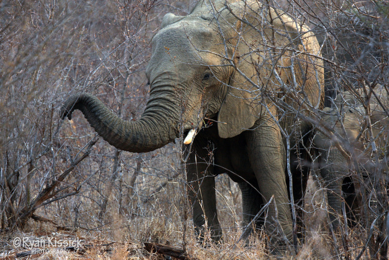 African elephant extending trunk towards the camera