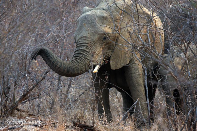 African elephant extending trunk towards the camera