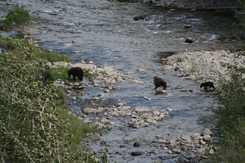 20110828 - 066 - GNP - Sow And 3 Bear Cubs Along Road By Many Glacier Hotel.JPG